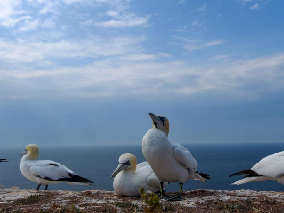 gannets-seabirds